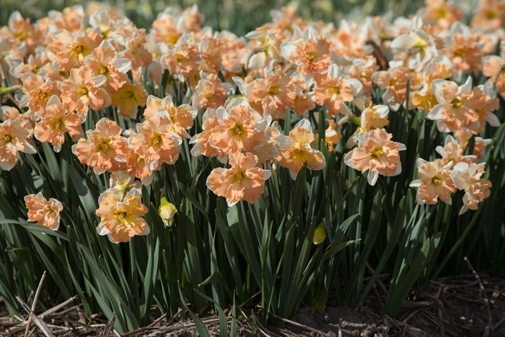Narcissus Apple Pie