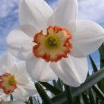 Narcissus Audubon