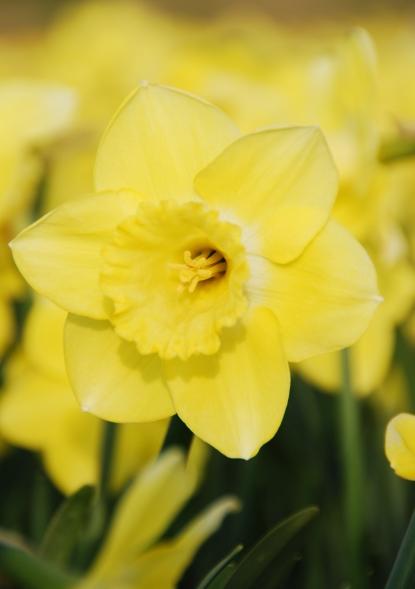Narcissus Cairngorm