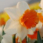 Narcissus Chromacolor