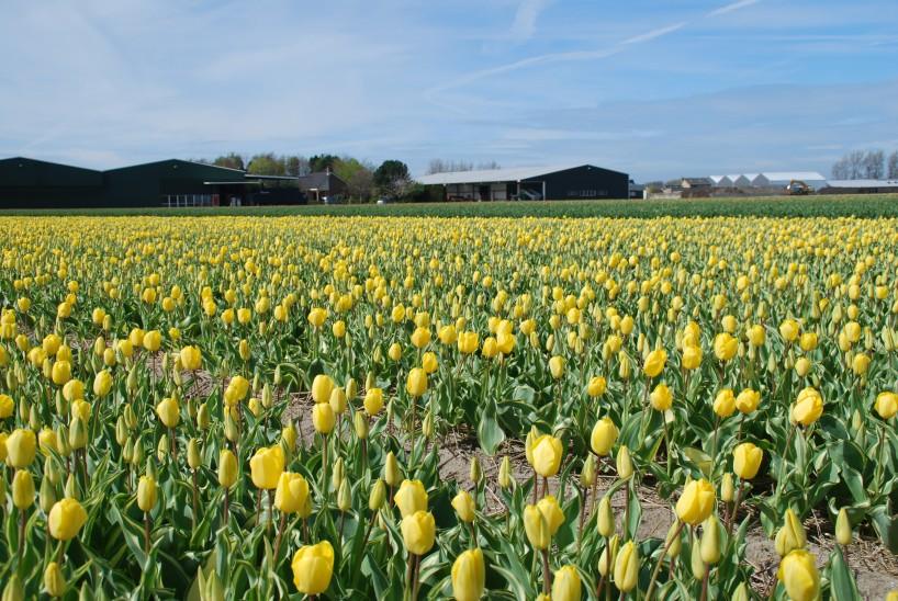 Yellow Wave veld