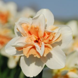 Narcissus Delnashaugh