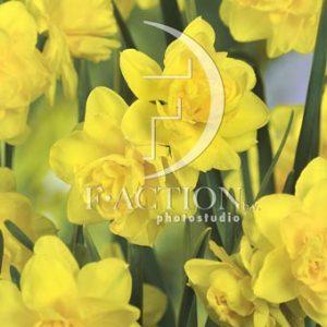 Narcissus Pencrebar