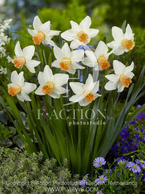 Narcissus Reggae