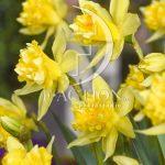 Narcissus Van Sion