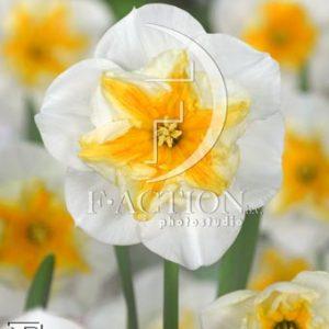 Narcissus Delta