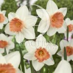 Narcissus Accent
