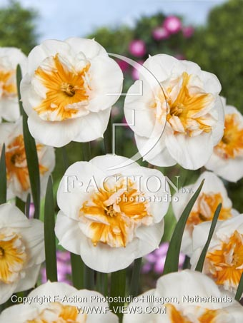Narcissus Dolly Mollingher