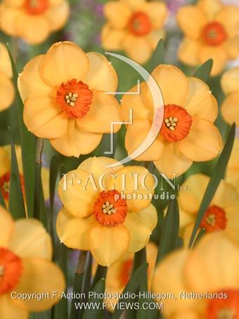 Narcissus Sabine Hay
