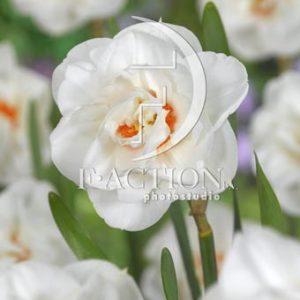 Narcissus Acropolis