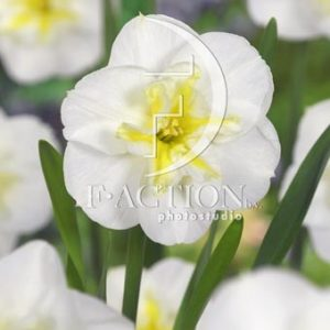 Narcissus Lemon Beauty