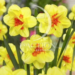 Narcissus Ascot