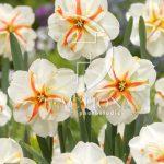 Narcissus Trepolo