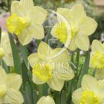 Narcissus Pistachio