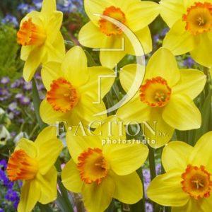 Narcissus Pinza