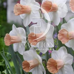 Narcissus Pink Silk