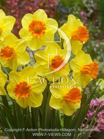 Narcissus Orange Progress-group