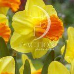 Narcissus Orange Progress