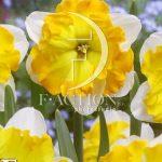 Narcissus Palette