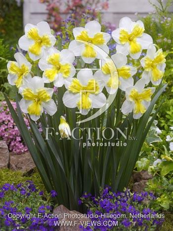 Narcissus Trilune
