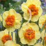 Narcissus Bulley