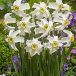 Narcissus Recurvus