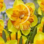 Narcissus Menehay
