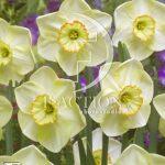 Narcissus Suave
