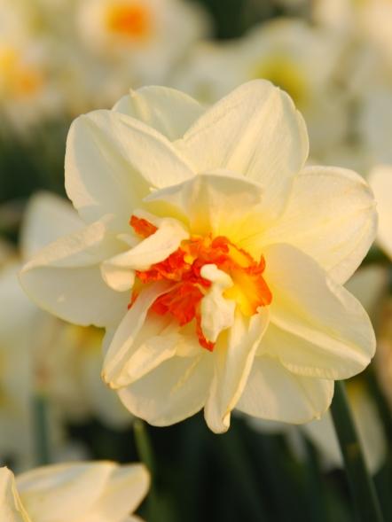 Narcissus Flower Drift