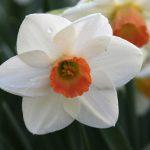 Fragrant Rose 3