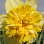Narcissus Full House