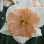Narcissus Girlpower