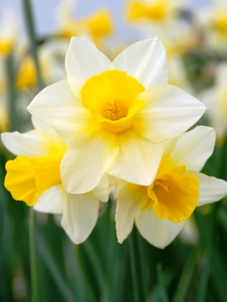 Narcissus Golden Echo