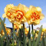 Narcissus Innovator