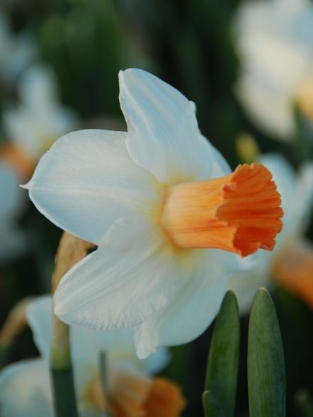 Narcissus Kaydee