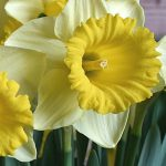 Narcissus Kiss Me