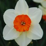 Narcissus Kissproof