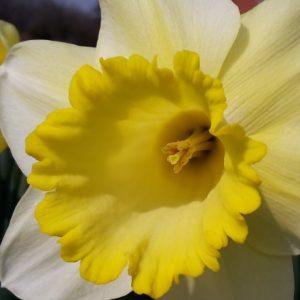 Ma Bell daffodil