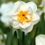 Narcissus Madison