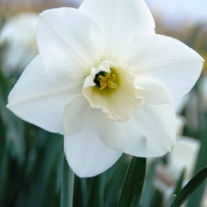 Narcissus Misty Glen