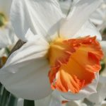 Narcissus Over Easy