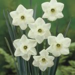 Narcissus Peridot