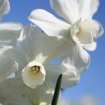 Narcissus petrel