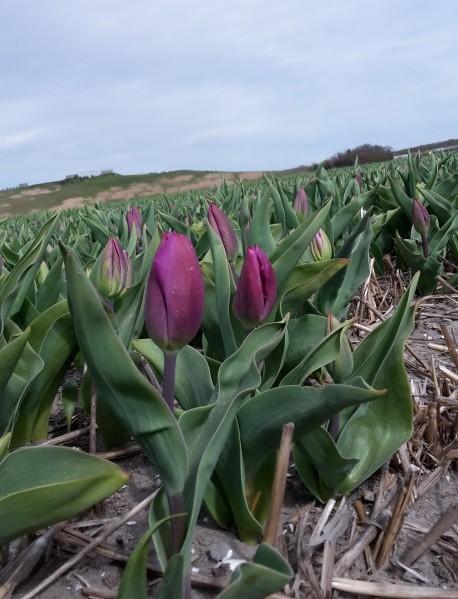 tulp Purple Flag veld