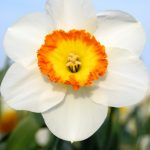 Narcissus Roulette