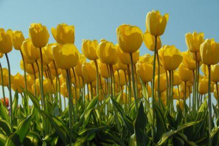 Tulp Yellow Wave