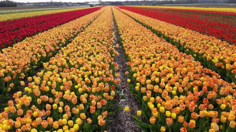 tulp Daydream veld