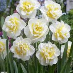 Narcissus Atholl Palace