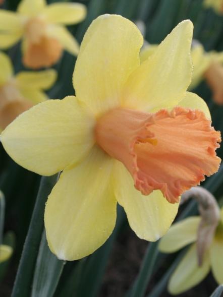 Capree Elisabeth daffodil