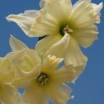 Exotic Mystery daffodil